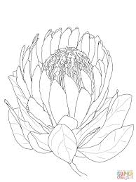 protea flower coloring page free printable coloring pages