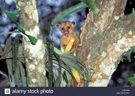 kinkajou potos flavus tikal guatemala january procyonidae