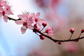 cherry blossom pics cherry blossom beauty event kchezelle