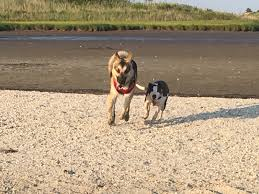is lexus amanda mexican the best dogs are beach dogs along the gulfshore august 2016