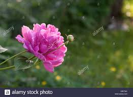 Peony Flowers Peony Flowers And Flower Buds Stock Photo Royalty Free Image