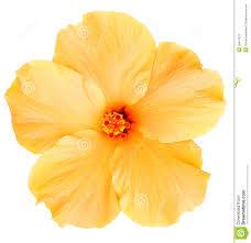Yellow Hibiscus Flowers - hawaiian yellow hibiscus isolated on white stock photos image
