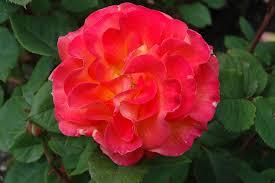 mardi gras roses mardi gras rosa mardi gras in columbus dublin delaware