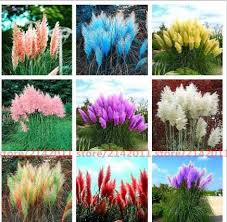 500 pcs pas grass seed patio and garden potted