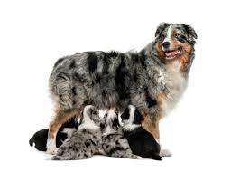 bearded collie and border collie mix border collie australian shepherd mix photos thriftyfun