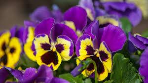 fiori viola fiori eduli l elenco dei fiori commestibili puoi usare in