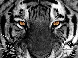 wallpaper black tiger hd tiger hd wallpapers free download wallpapers pinterest tiger