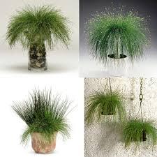 plants flowers isolepis cernua