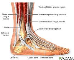Subtalar Joint Fracture Human Anatomy The Ankle Is A Complex Mechanism What We Normally