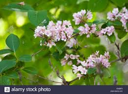 Tree With Little White Flowers - close up of small pink and white flowers with green leaves stock