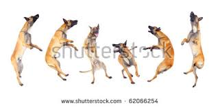 australian shepherd jumping dog jumping stock images royalty free images u0026 vectors shutterstock