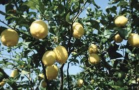 lemon britannica homework help