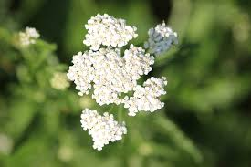 free photo herb medicine yarrow plant blooming flower white max