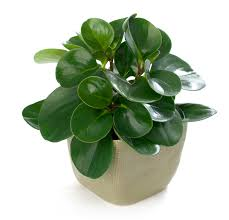peperomia obtusifolia or baby rubber plant bright to moderate