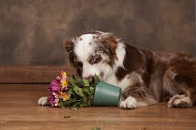 australian shepherd and cats 4 poisonous plants to watch out for your dogs and cats top tails