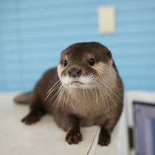 otters are literally one of the cutest wild animals ever u003c3