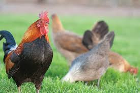 Keeping Free Range Chickens In Your Backyard The Benefits Of Raising Free Range Chickens