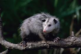 learn all about opossums and how to deter them