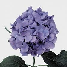 wholesale hydrangeas wholesale hydrangea guide wedding flowers uk triangle nursery