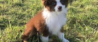 south texas australian shepherd breeders best little aussies u2013 find the best little aussie for you