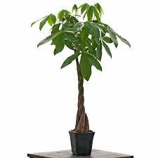 money tree pachira plants non toxic to cats