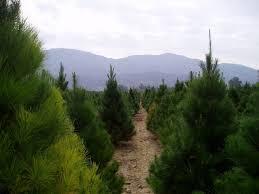 christmas christmas tree farms near mercer mochristmas memphis