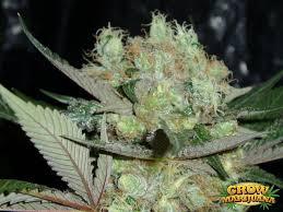 Northern Lights Outdoor Grow Northern Lights Seeds Strain Review Grow Marijuana
