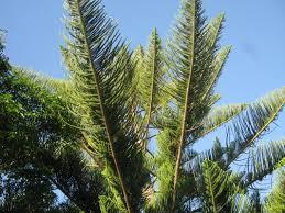 exotic trees the trees u0026 flowers of whangarei