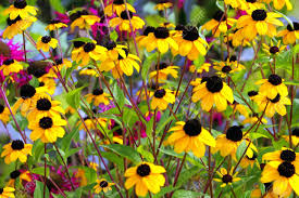Summer Flowers by Field Of Black Eyed Susans And Summer Flowers Stock Photo Picture