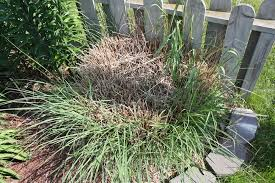 how to divide ornamental grass backyard gardening