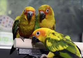 Casa Del Sol Tanning Birds How To Breed The Sun Parakeets A Very Easy Bird Specie To
