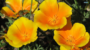 California Poppy Flower Golden Poppies Flowers Gorgeous California Poppy Flower Hd