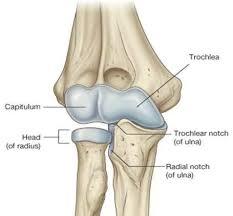 Knee Bony Anatomy Anatomy Of Elbow Joint Bone And Spine