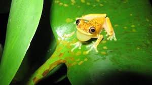 frogs that can take the heat expected to fare better in a changing