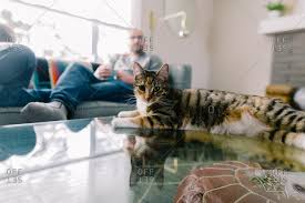 Cat Laying On Glass Table Calico House Stock Photos Offset