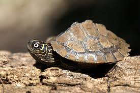map turtle mississippi map turtle oklahoma department of wildlife conservation