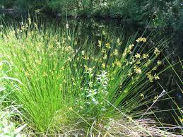 native plant definition juncus effusus wikipedia