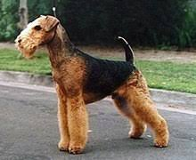 belgian shepherd dog club of canada list of dog breeds recognized by the canadian kennel club wikipedia