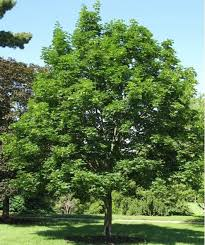 35 best large trees images on shade trees trees