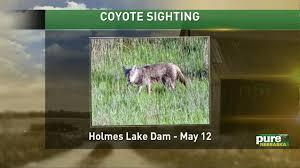 Backyard Animals Lyrics Man Sees Coyote Snatch Family U0027s Yorkie From His Yard Local Animal