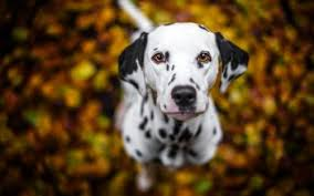 52 dalmatian hd wallpapers backgrounds wallpaper abyss