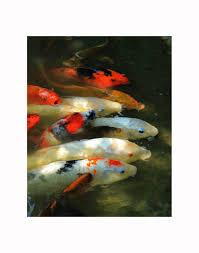 koi photography koi fish photo koi photo koi print koi art