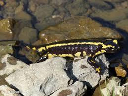 salamander k che salamandra salamandra linnaeus 1758 salamandre tachetée