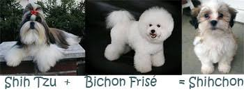 bichon frise meme our two new shichon puppies heart at home heart at home