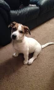 australian shepherd jack russell terrier help what u0027s my dog u0027s breed choosing a dog site root dog