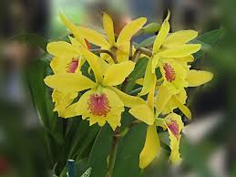 Yellow Orchid Beautiful Orchids Wallpapers