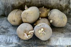 Green Root Vegetable - can you really be poisoned by green or sprouting potatoes