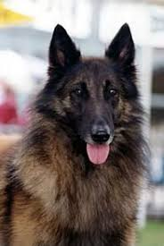 belgian sheepdog tattoo the tervueren was bred in medieval belgium for herding livestock