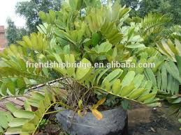 foliage ornamental decorcative landscape bonsai plants of zamia