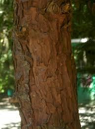 douglas maple acer glabrum pacific northwest native tree calocedrus decurrens incense cedar this fast growing cedar is a